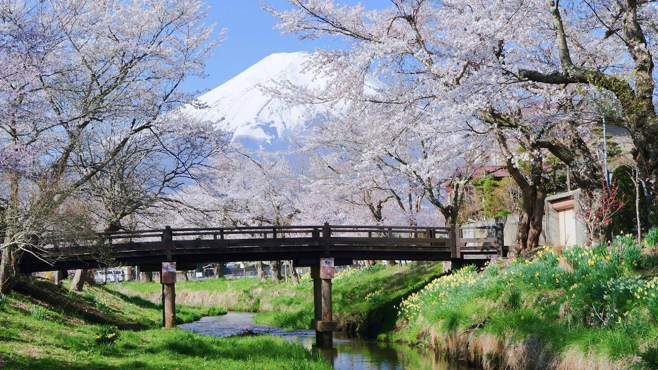 「忍野八海 櫻」的圖片搜尋結果